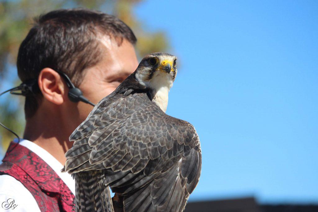 fauconnier volerie du forez